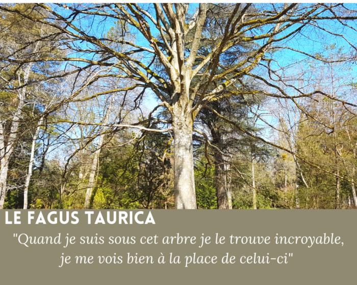 Fagus Taurica