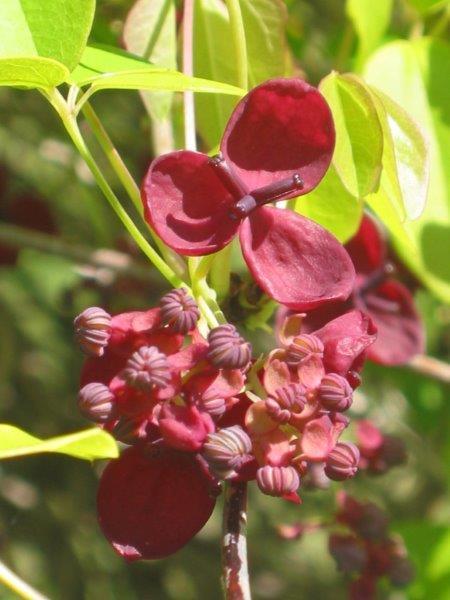 Akebia quinnata