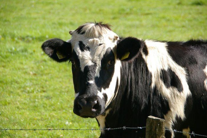 cow-234835-960-720