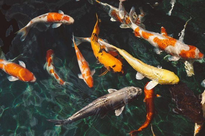 koi-fish-1868779-960-720