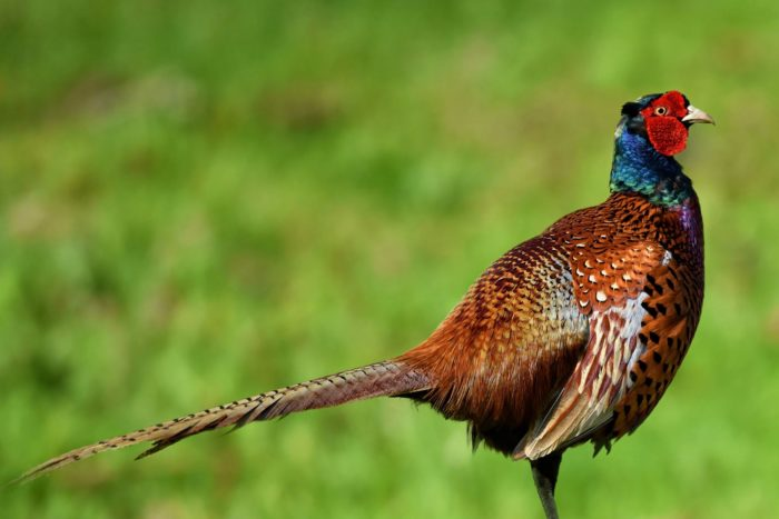 pheasant-4167469-1920