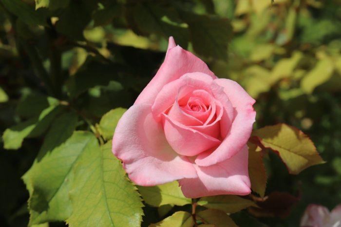 pink-4423543-1280