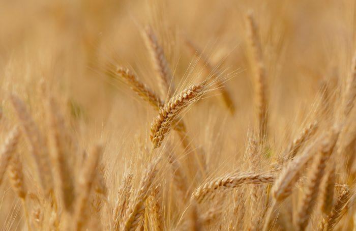 wheat-3241114-1920