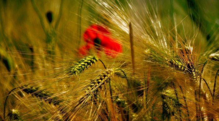 wheat-3248056_1280