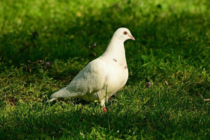 white-dove-4168972-960-720